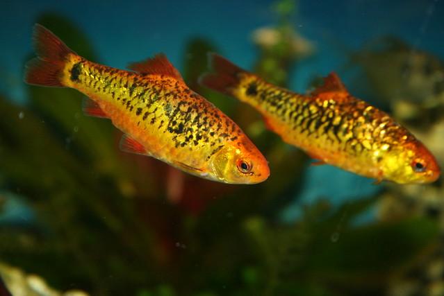 Gold barb barbus dor puntius semifasciolatus var schube for Gold barb fish