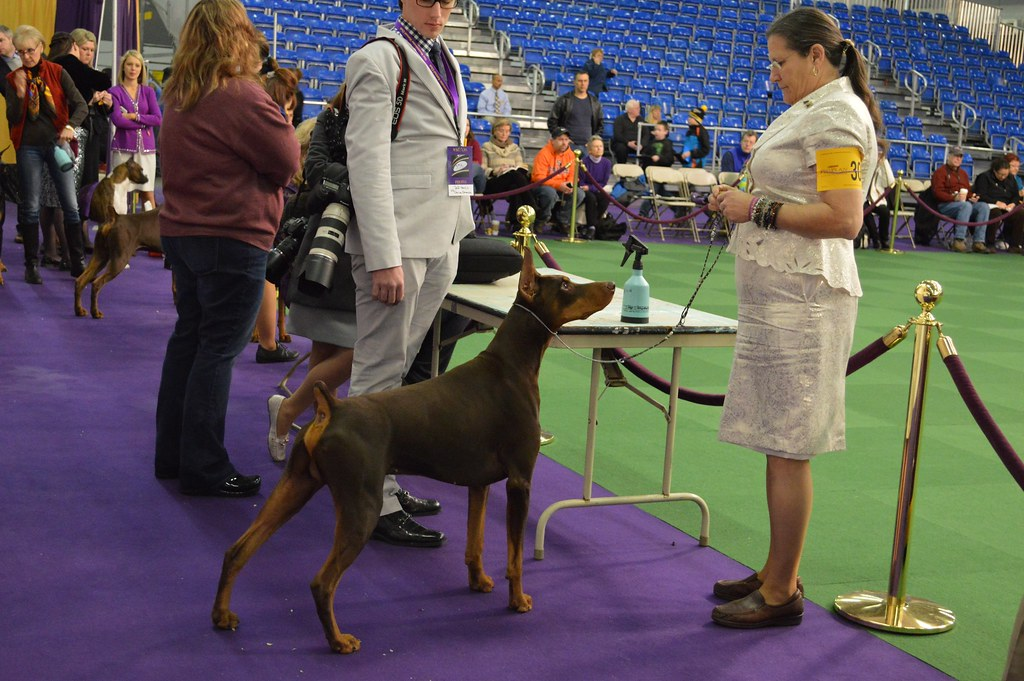 Doberman Pinscher-30-GCH-Rio's Luca Brasi Monster | Terms of… | Flickr