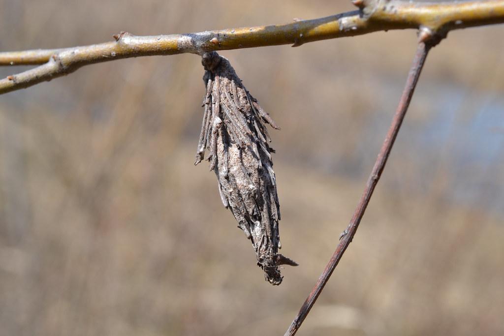 Evergreen Bagworm Moth Thyridopteryx Ephemeraeformis Quot Ba