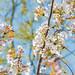 6091 tsukuba wandeling blossom