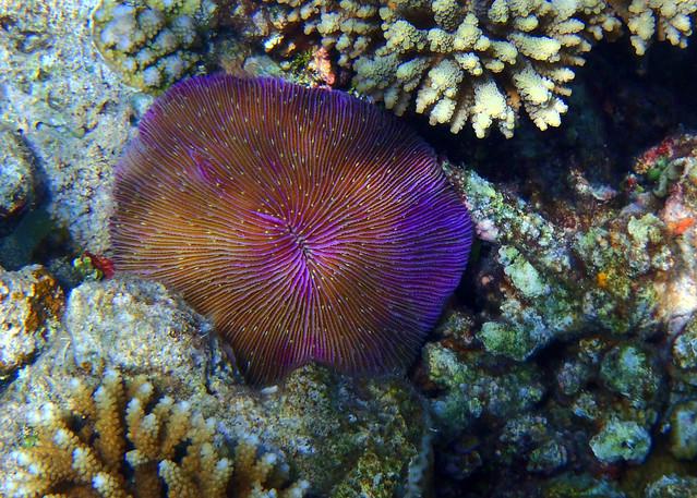 Maravillosas formaciones de color malva, rosa y rojo bajo el agua de Maldivas cerca de Nilandhoo