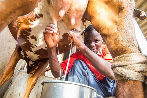 Dairy farmer milking a cow