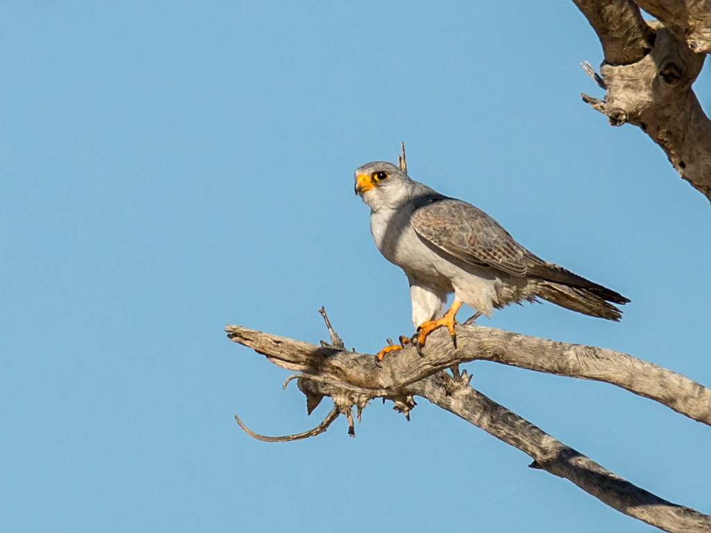 Grey Falcon (Falco hypoleucos) | Sturt National Park, NSW ...