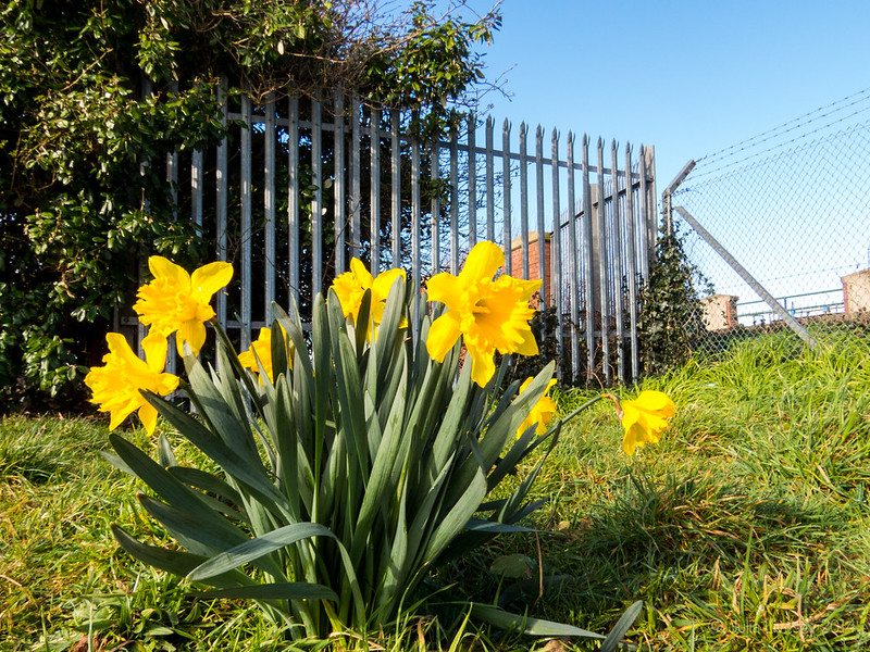 Daffodils by the railway line