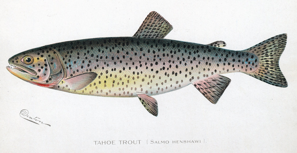 Tahoetrout fish tahoe trout nys dec flickr for Nys dec fishing