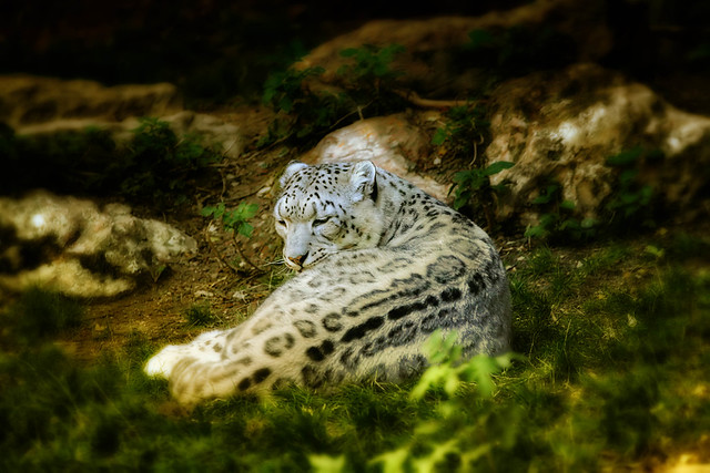 White Panther Flickr Photo Sharing