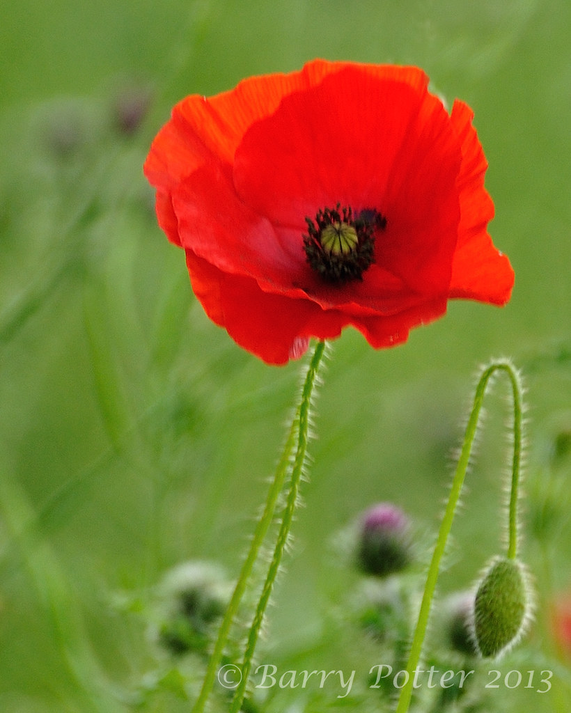 Wild Poppy Barry Potter Flickr