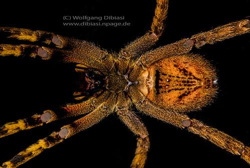 Wanderspinne, Wandering spider (Phoneutria)