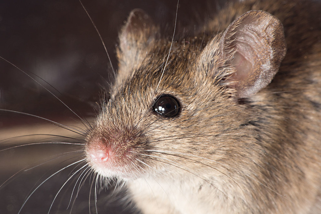 Mice Get Into To Lower Kitchen Cabinets No Backs