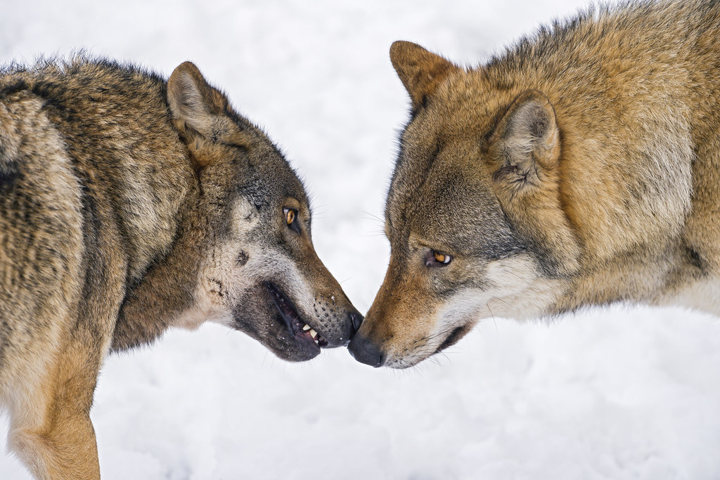 Wolves Nose To Nose Cute Picture Of Two Wolves
