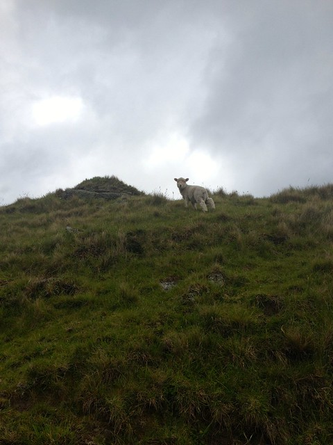 lamb on a slope - Mount Maunganui