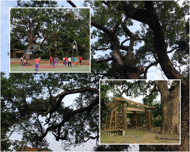 丹大生態旅遊開課了!第一件事就是盤點部落旅遊資源。圖為人和國小的老樟樹。攝影:廖靜蕙