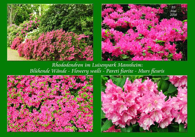 Mai 2016 Rhododendron-Blüte im Luisenpark Mannheim - Blühende Wände - Flowery walls - Pareti fiorite - Murs fleuris_Foto: Brigitte Stolle Mannheim