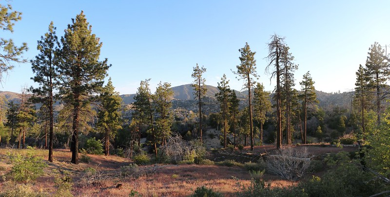 A row of pine trees in the morning light as we hike along the PCT