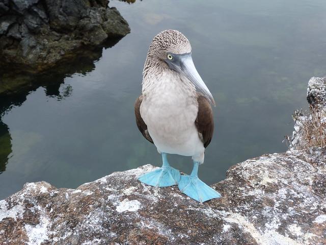 Piquero de patas azules de Islas Galápagos
