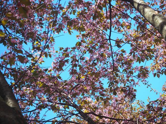 cherryblossomP5124847, cherry blossom, kirsikkapuu, kirsikan kukka, helsinki, roihuvuori, finland, suomi, hanami, helsinki tips, cherry park, japanese style garden, cherry tree park, cherry park, cherry trees, kirsikankukka puu, blooming, kukkia, vaaleanpunainen, pinkki, kukka, flower, cherry blossom helsinki, blue sky, sininen taivas, may, toukokuu, kesä, summer, kevät, spring, suomi, cherry woods, kirisikkapuisto, roihuvuori,