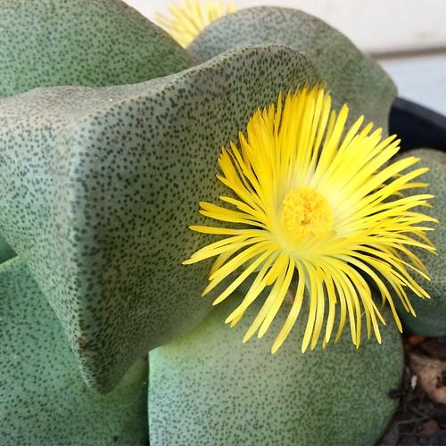 Pleiospilos sp. flower