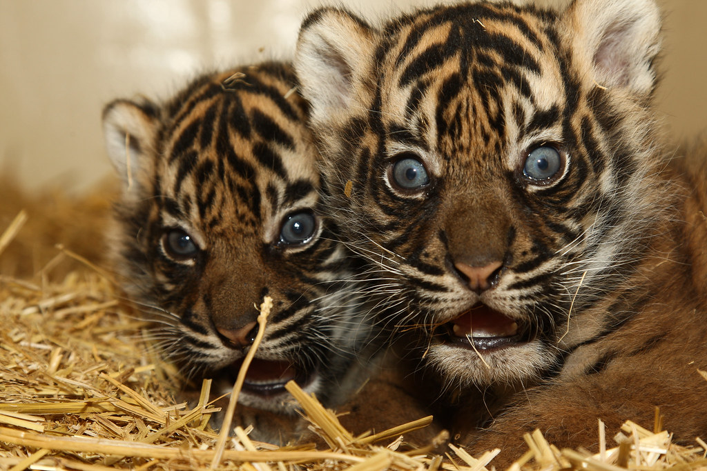 Image Result For Free Tiger Cub