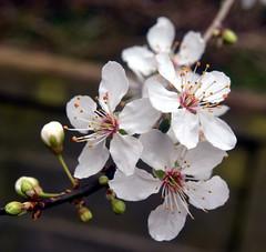plum blossom1 20 spring by Liz Nicholson