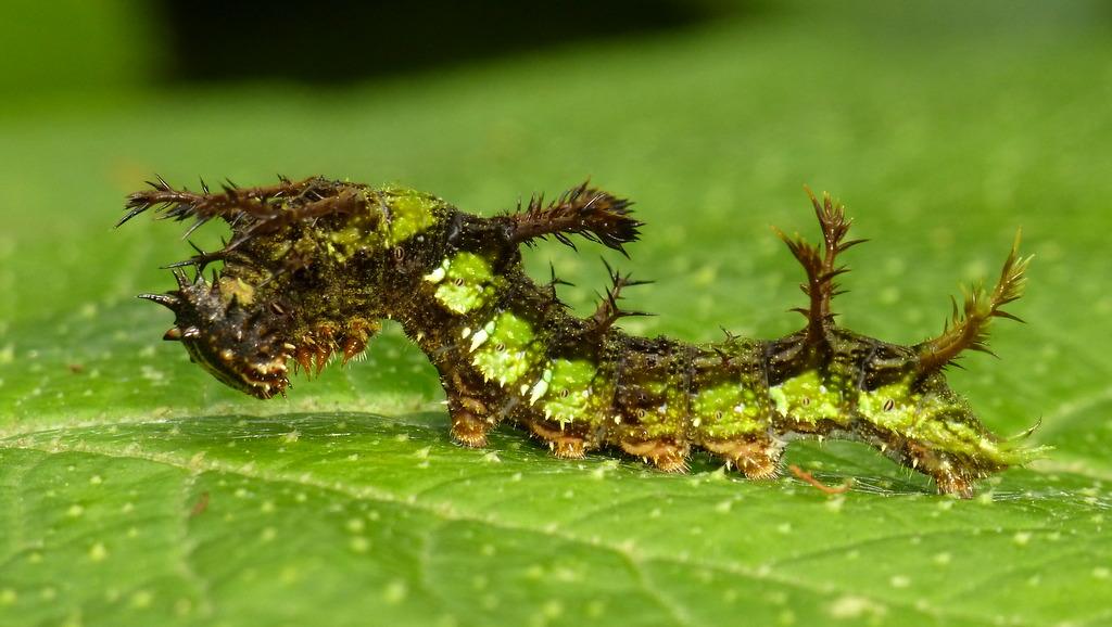 Spiny Caterpillar Adelpha Radiata Serpa Or Seriphia