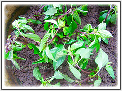 Newly planted Ocimum basilicum that were purchased from the grocery store, 23 April 2014
