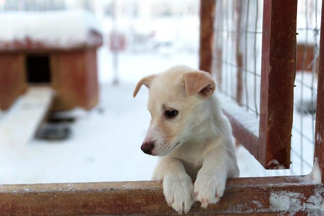 Husky en Laponia