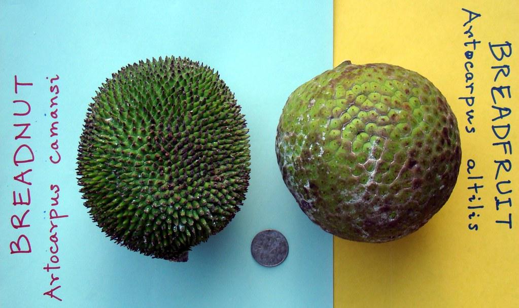 Breadnut 2 No It Is Not Jackfruit Amp Breadfruit 5 Flickr