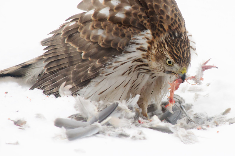 Cooper's Hawk, eating