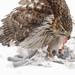 Cooper's Hawk, eating