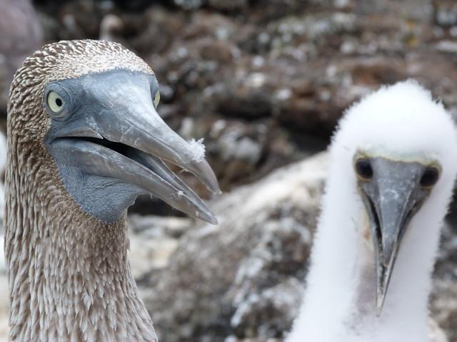 Piqueros de patas azules en islas Galápagos