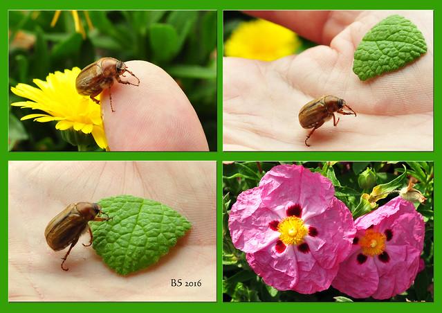 Käfer Garten Blumen Krabbeltier Maikäfer Junikäfer Julikäfer Foto Brigitte Stolle 2016