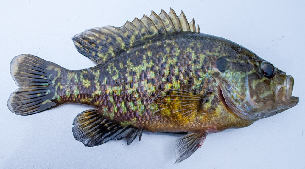 Warmouth Sunfish Pink And Purple Warmouth Caught In