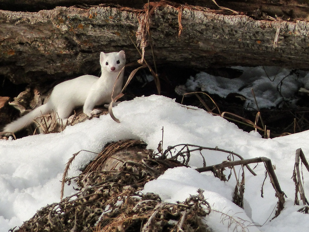 Weather Was Perfect This Morning So We >> Long-tailed Weasel | Thought I would give everyone, includin… | Flickr
