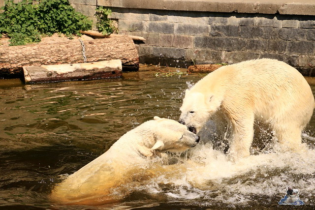 Eisbär Fiete im Zoo Rostock 04.06.2016   0213