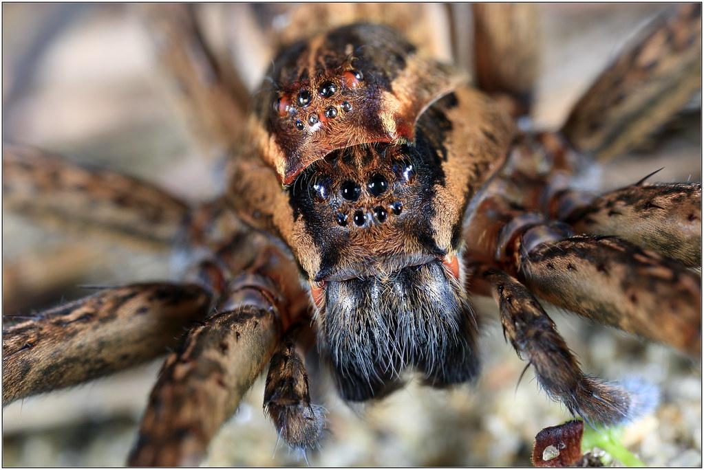 two headed nursery web spider