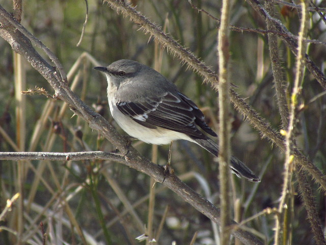 Northern Mockingbird1 3:23:13