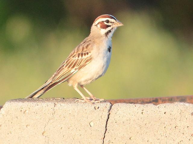 Lark Sparrow 04-20160618