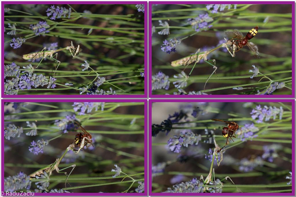 Hornet Vs Praying Mantis Oriental Hornet...