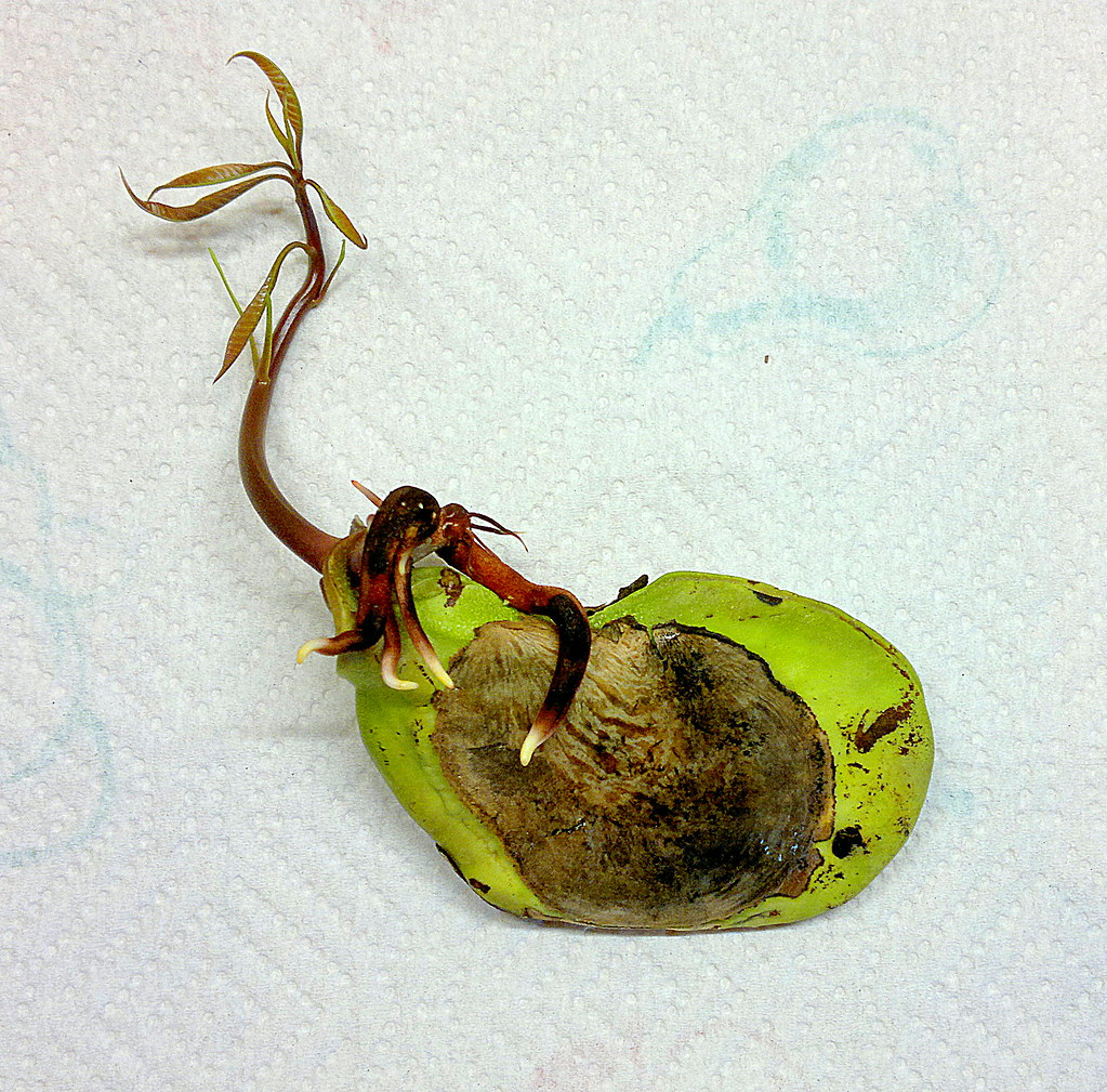 Germinated mango seed | Mango seed after I wrapped it in a ...