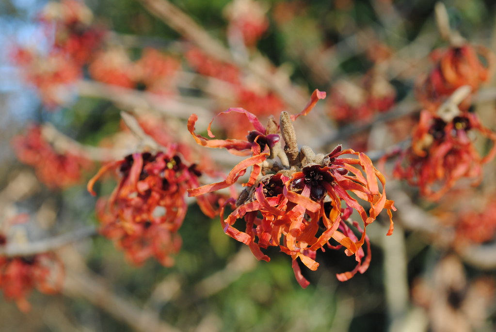 Hamamelis �intermedia 'Diane' (common witchhazel)   Flickr - Photo ...