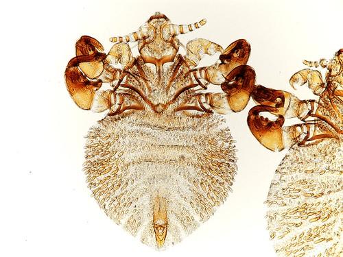 View of Antarctophthirus lobodontis under the microscope.