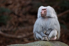 Mr. Baboon