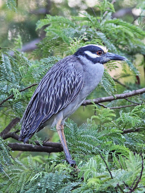 Yellow-crowned Night-Heron female 1-20140224