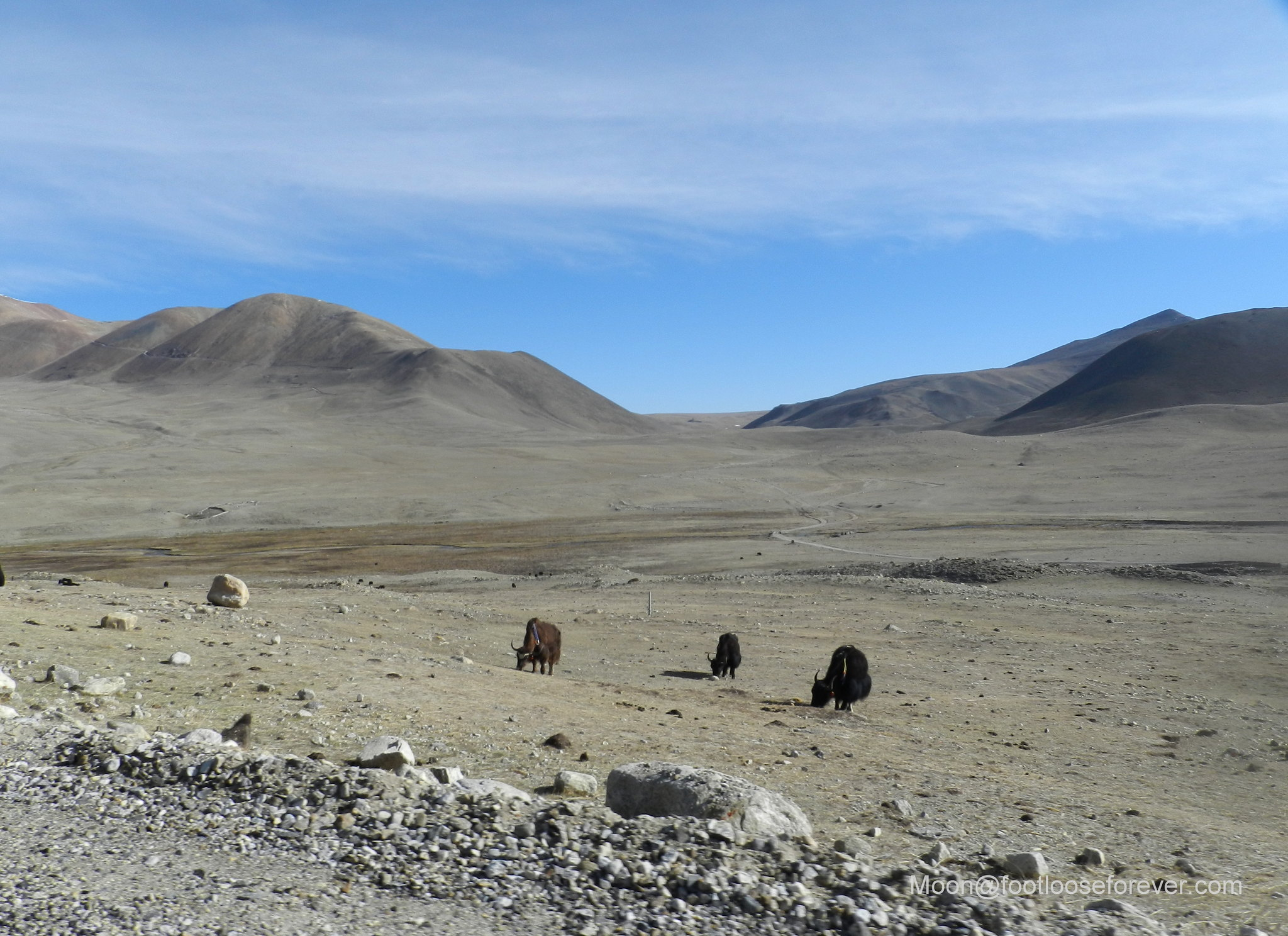yaks, north sikkim, mountain desert, himalayas