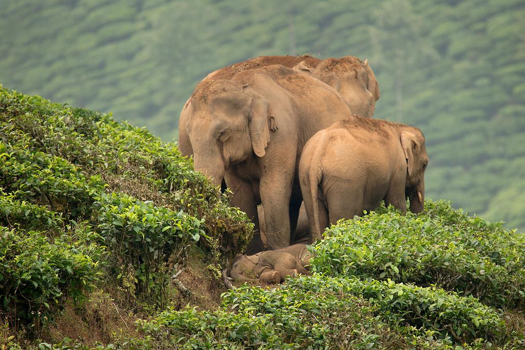 亞洲象。圖片來源:Ganesh raghunathan (CC BY-NC-SA 2.0)