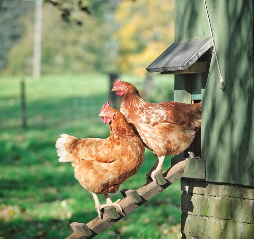 Hens outside