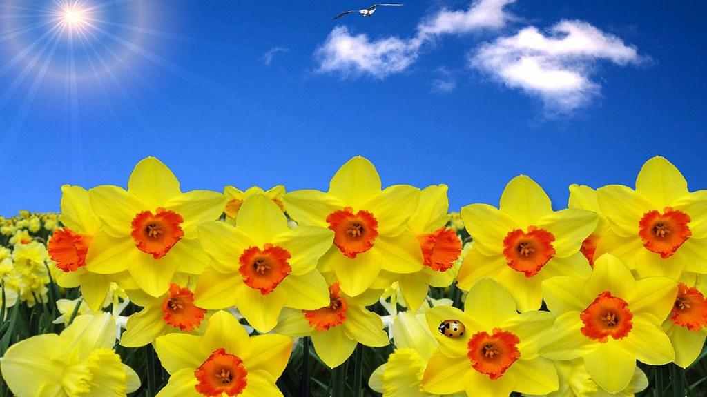 Yellow Daffodils Wallpaper Bright Yellow Daffodils