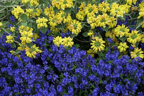 "Phlomis fruticosa and Veronica austriaca ""Crater Lake Blue"""