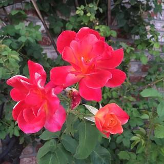 #minirose #mossrose #rose #roses🌹