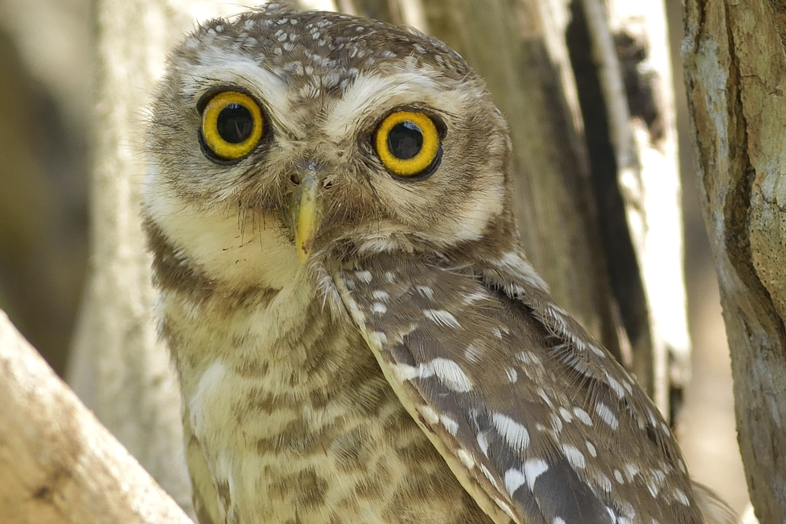 Spotted_Owlet_7016_O